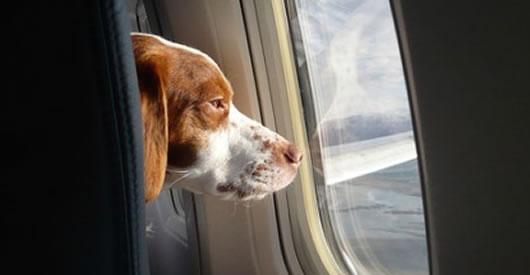 Hai visto? Consigli su come viaggiano i cani in aereo
