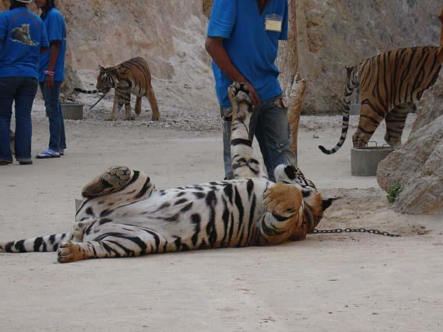 Hai visto? Il Tempio delle Tigri di Kanchanaburi, Thailandia